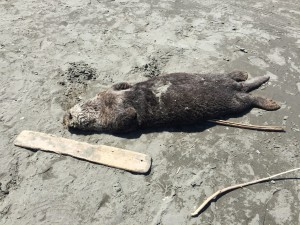 dead sea otter on beach