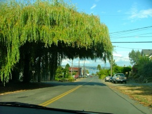 willow tree trimmed over street