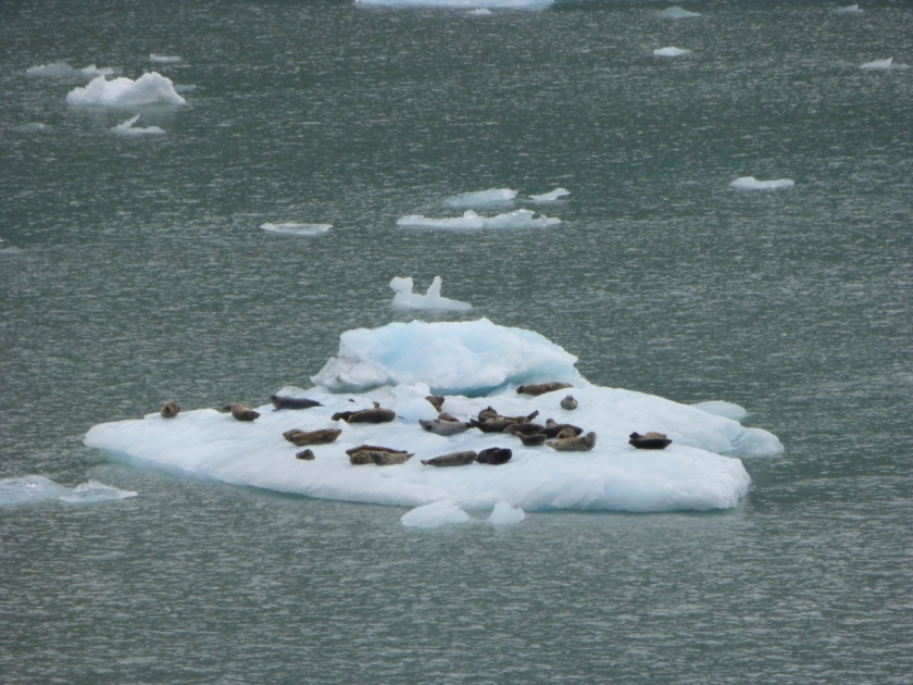 seals cruising on ice floe