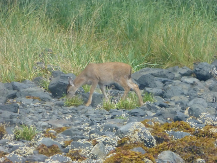 Sitka black-tailed deer