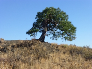 Stunted Ponderosa pine