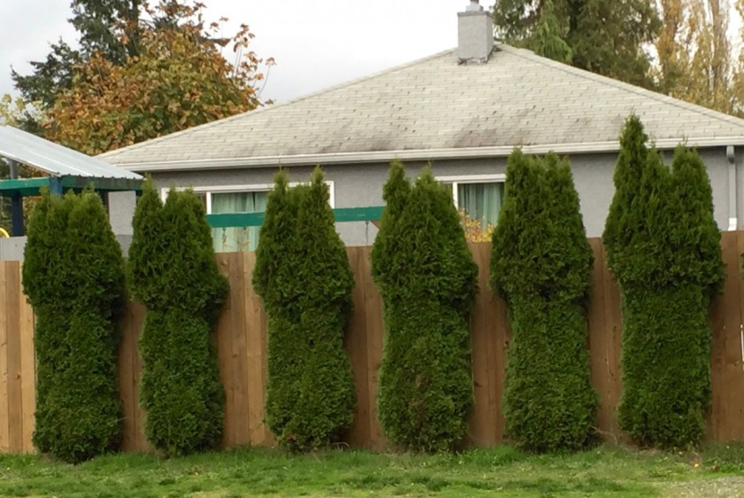 hedge bushes
