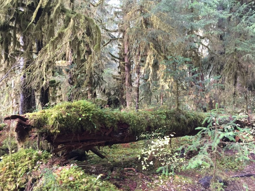 Mossy nurse log