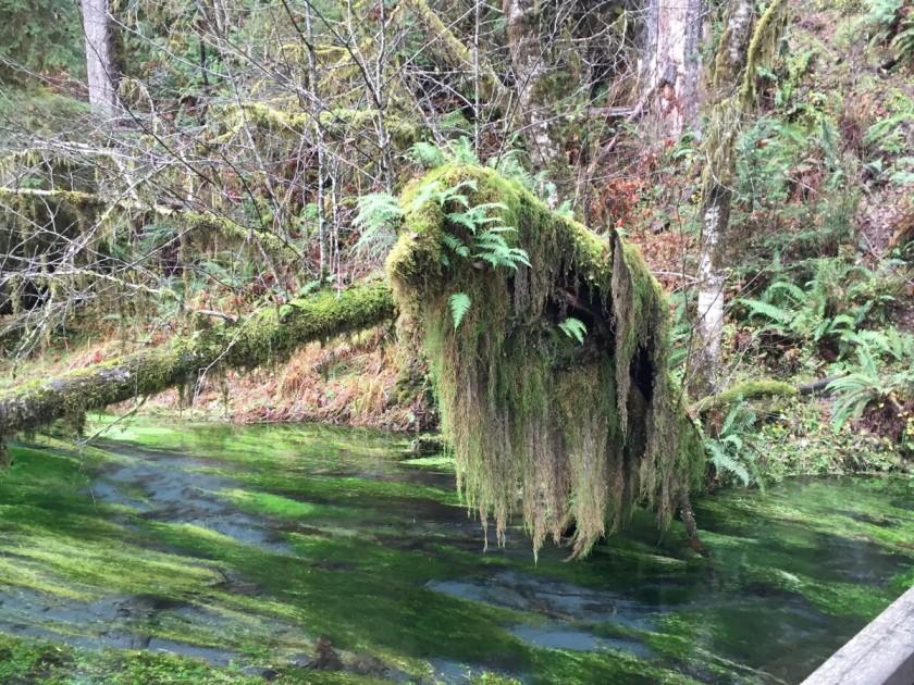A mossy tree overhangs mossy Taft Creek