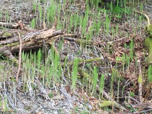 horsetails beginning to leaf out