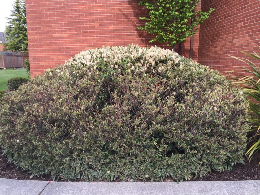 bush eaten by deer