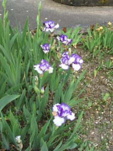 variety of purple iris