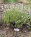 white spike lavender