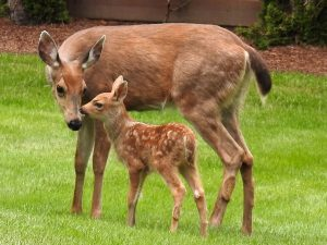 doe and fawn 2017