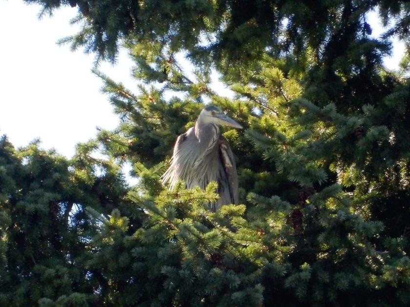 heron in tree