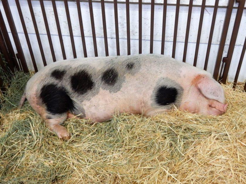sleeping pig