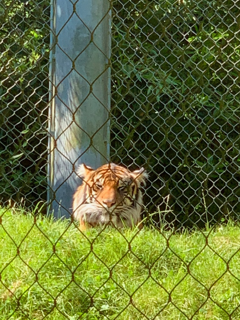 tiger enjoying the sun