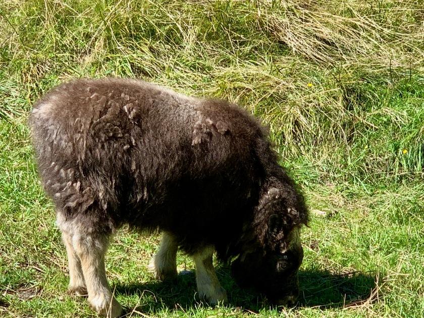Trebek, muskox calf