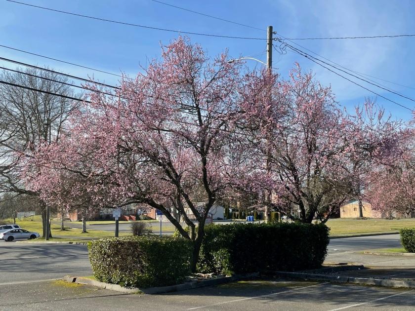 flowering trees in parking lot